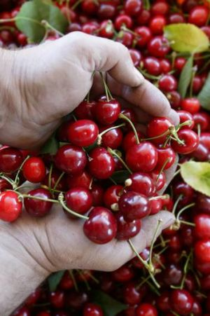 Bad weather has not damaged the stars of National Cherry Festival.