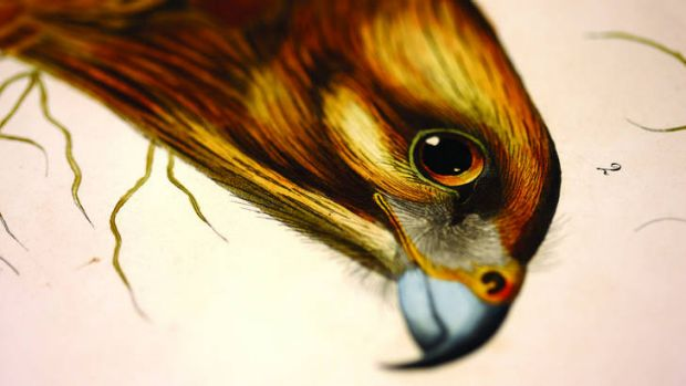 John James Audubon's red-shouldered hawk from <i>Birds of America</i>.