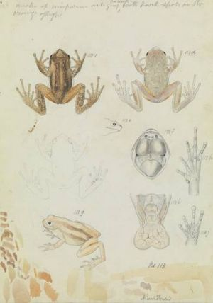 Arthur Bartholomew's 1860 watercolour of a brown tree frog.