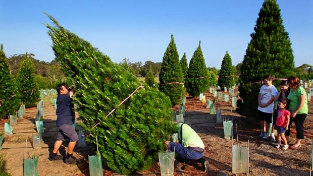Green thumbs … the Losurdo family looks on as Joe Losurdo holds up his chosen tree at the Dural Christmas Tree ...
