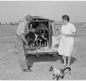 The gang's all here ... Mr and Mrs Eddie Sage of Numurkah arrived at the 1964 championships with their sheepdogs and cat.