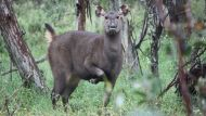 Record 41,000 deer culled (Video Thumbnail)