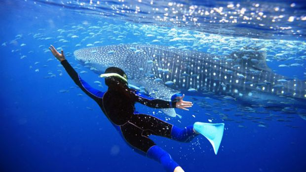 A diver swims beside a whale shark at Ningaloo Reef.