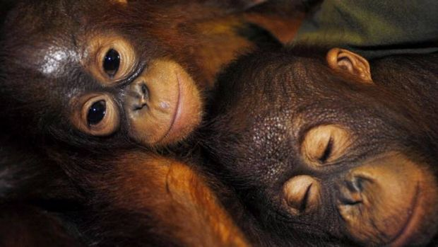 Sanctuary ... Orangutans rest in Palangkaraya in the province of Central Kalimantan.