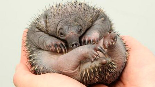 Baby echidnas born at Perth Zoo have challenged previous assumptions about the breeding habits of the mammals.