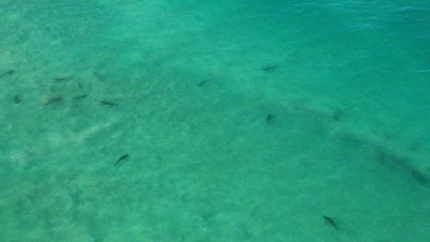 Tiger sharks at Trigg Beach, as seen from the Westpac lifesaver rescue helicopter. Photo: Surf Life Saving WA.