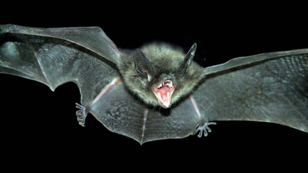 Secret to longevity ... David's myotis, the tiny microbat native to China, was one of two bat species selected by ...