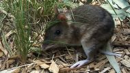 Bandicoots released onto French Island (Video Thumbnail)