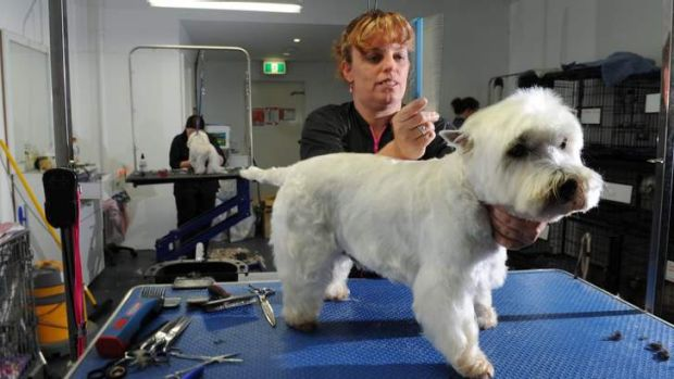 "Owner of dog grooming business, Shampooch, at the Farrer shops, Kylie Gallimore, works on ""Peerbrock"" a West Highland ..."