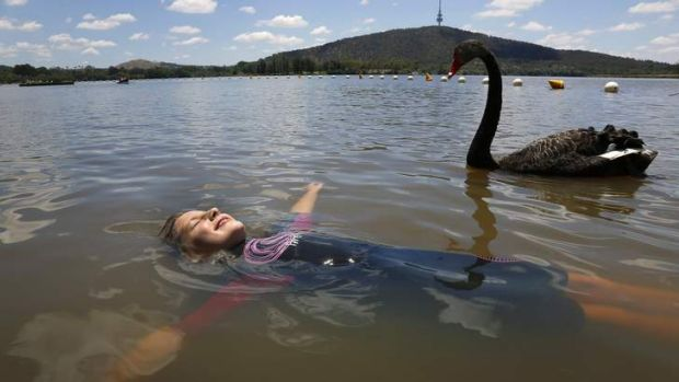 A black swan swims by as Tara Cannon, 8, from Duffy floats in Lake Burley Griffin at Yarralumla Beach on Saturday.
