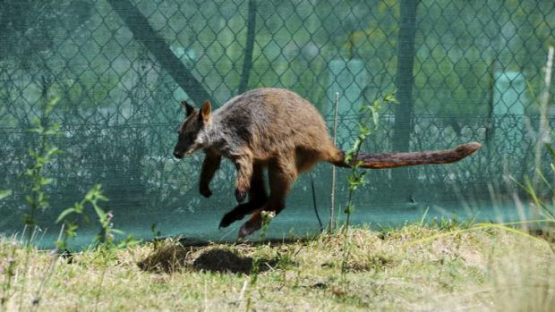 ON THE HOP: Zena, a six-year-old southern brush-tailed rock wallaby, is part of the Tidbinbilla Animal Breeding Centre's ...