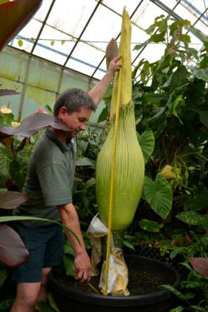 Royal Botanic Gardens nursery technician Chris Jenek monitors the growth of the second titan arum.