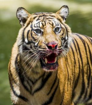 Sumatran Tiger, Senja, with blood on her mouth after enjoying a frozen blood/turkey treat in the hot weather.