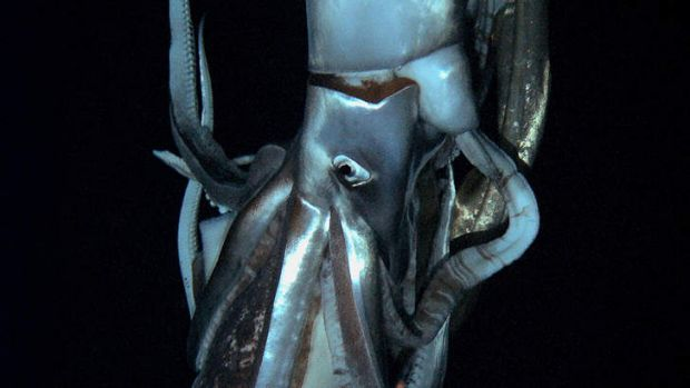 Up close ... the 8-metre squid.
