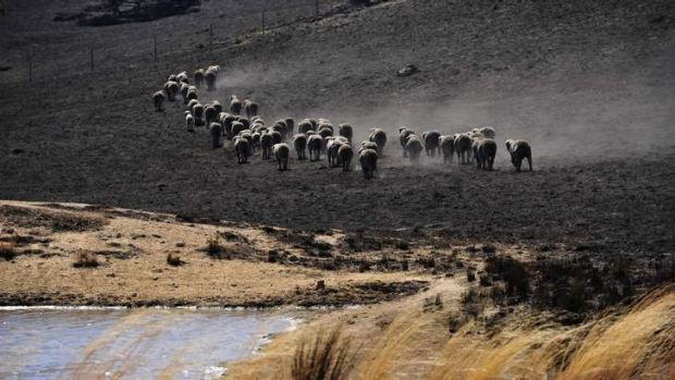 Livestock move across a burnt-out property at Jugiong near Yass.
