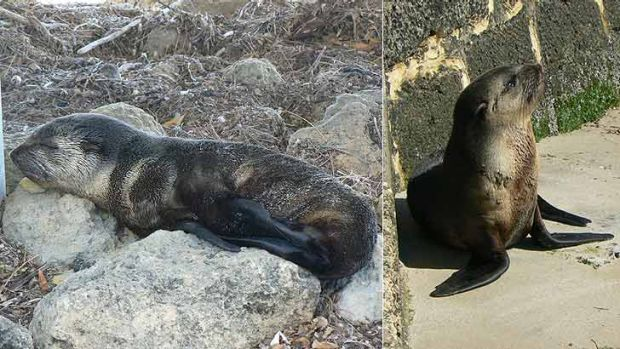 The sub-Antarctic fur seal has been making himself at home on the Swan River.