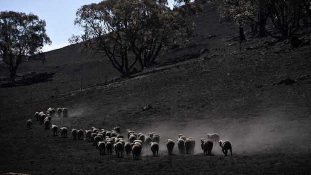 Livestock moving across a property at Jugiong after a bushfire swept through the area.