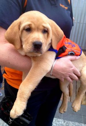Future guide dog Lulu meets passersby in the Queen Street Mall.