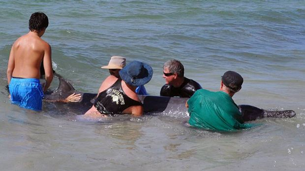 Several beachgoers helped return the whales to the ocean.