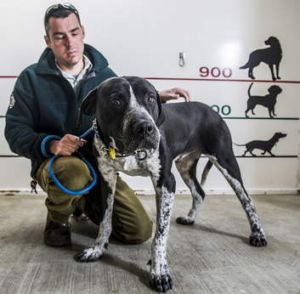 Dog ranger Jason Ritzen with a mastiff cross, reunited with its owners by Domestic Animal Services Shelter earlier this year.