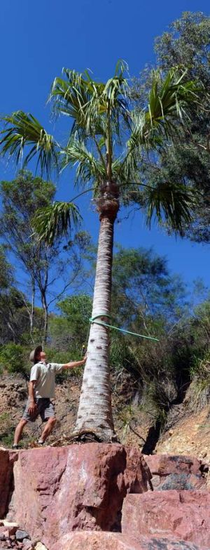 Botanic Gardens nursery manager Joe McAuliffe with the recently planted palm tree.