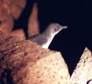 The fairy penguins at St Kilda beach are considered a must-see.