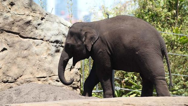 Dubbo bound … Taronga Zoo's Pathi Harn.