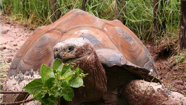 One of the two Galapagos tortoises that together consume six 53 litre-sized bins of vegetation a day.