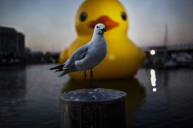 A seagull rests in front of 'Rubber Duck'.