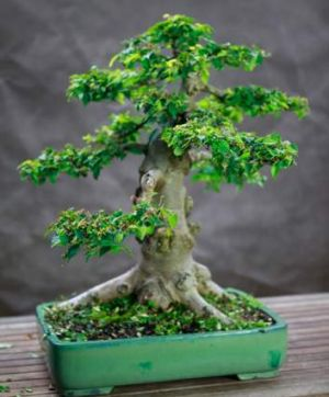 Like a pet, a bonsai isn't just for Christmas.