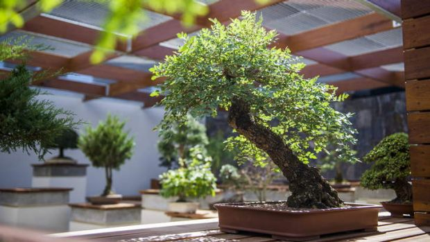 A desert ash tree in the National Bonsai and Penjing Collection.