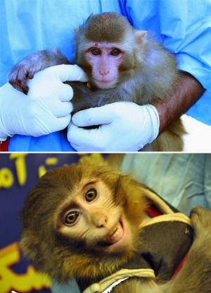 Seeing double ... the first picture shows a light-coloured monkey with a mole above its right eye, second, a darker ...