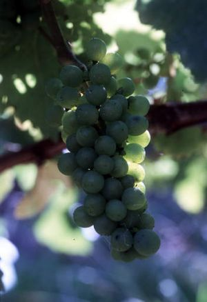Experts forecast a fall in wine production.