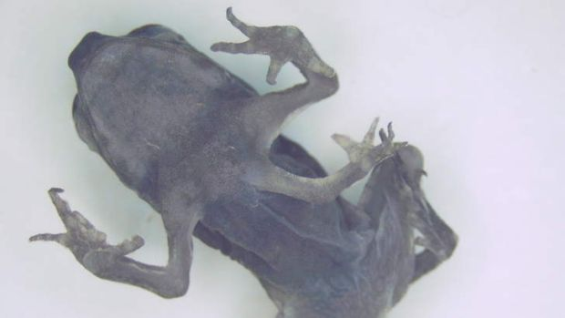 This cane toad caught in Gladstone was found with an extra leg growing from its sternum.