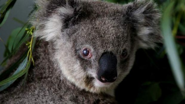 Koalas are an indicator that climate change is upon us, say researchers at the University of Queensland.
