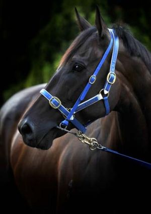 Legendary mare ... Black Caviar.