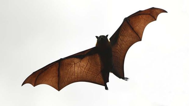 People are advised against handling bats as all flying foxes and bats can carry a strain of bat lyssavirus.