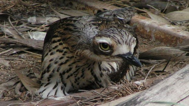 Just six stone-curlews are alive in northern Victoria.