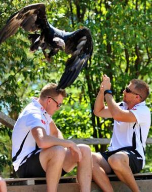 Beware of eagles: Nathan Buckley, left, has a close call at the Healesville Sanctuary.