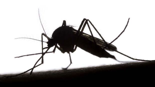 Breakthrough ... mosquitoes spread malaria.