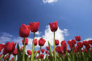 Vibrant red tulips in spring.