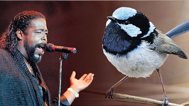 Sound similarities … Barry White had something in common with the fairy wren who is more attractive the deeper his ...