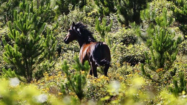 In the wild … 400,000 horses are feral.