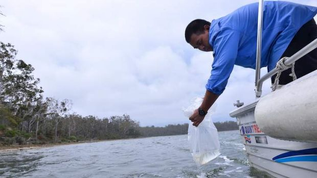 300,000 baby prawns being released into Lake Tyers in Gippsland , Chris Setio from The University of NSW lowers a bag ...