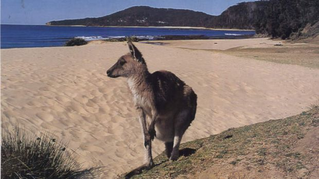 Critical decline ... some ecologists are worried about a long-term fall in kangaroo numbers.