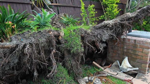 Fifty-years-old ... the whole root ball of the tree came up