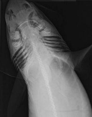 X-ray of the Mandarin dogfish.