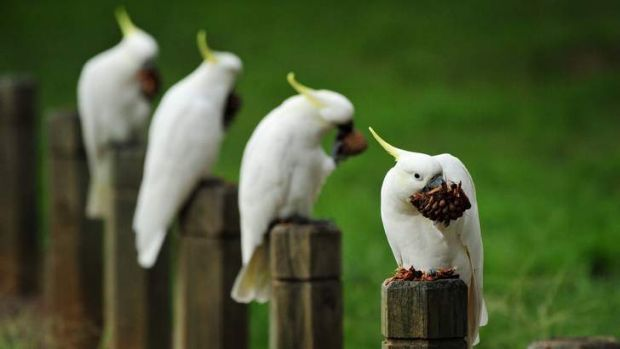 Happy hunting grounds ... In Holt, a quartet of white cockatoos enjoy a snack and a convenient perch.
