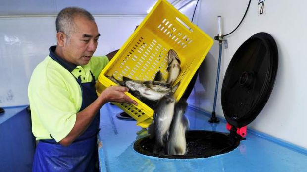 Thang Nguyen of Vung Tau Live Fish transports the Murray Cod that have been farmed at Marianvale Blue.