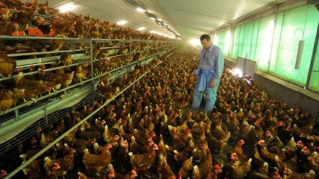 Hen house: Farm Pride's managing director Zelko Lendich in one of the company's sheds at Bears Lagoon.